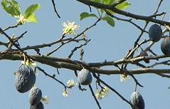 Blühender Zwetschkenbaum im Oktober