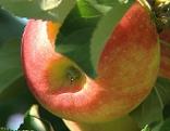 Apfel - Äpfel