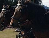 Noriker-Pferdegespann