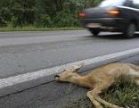 Totes Reh liegt in Straßengraben