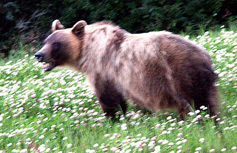 Wilder Braunbär (Grizzly) in Kleefeld