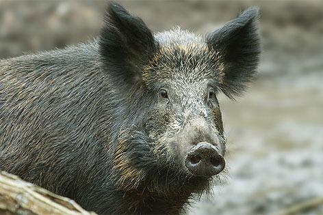 Bildergebnis für wildschwein