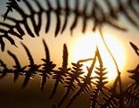 Sonnenaufgang hinter Farnkraut