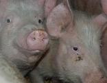 Tierquälerei, Schweine