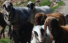 Schaf Schafe Alm Almwirtschaft Landwirtschaft Bergschaf Alpe Viehzucht Kleintiere Alpen