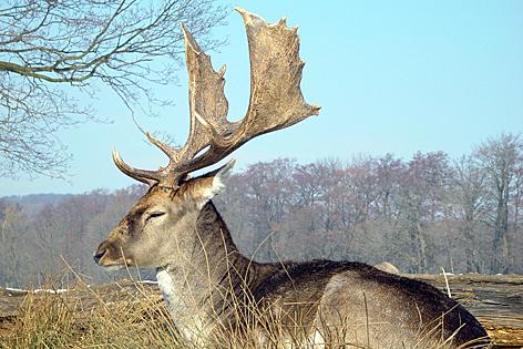 Damhirsch im Lainzer Tiergarten