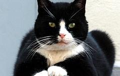 Schwarz-weiße Katze