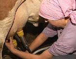 Bäuerin melkt Kuh