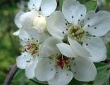 Blüte der Weidenblättrigen Birne