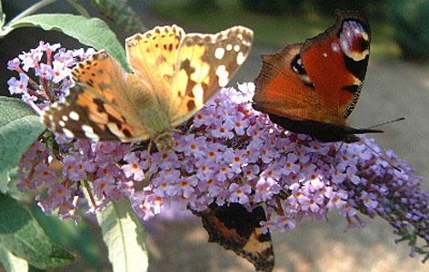 Schmetterling Garten Blume sommer Schmetterlingsflieder