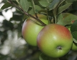 Äpfel Kronprinz Apfel Obst Garten Pflanze Apfelbaum
