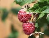 Himbeere Garten Frucht Strauch