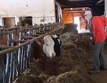 Biobauer bei der Arbeit im Kuhstall