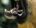 Aggressiver Schäferhund