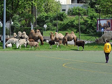 Entlaufene Kamele grasen am Spielfeldrand