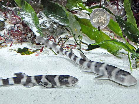 Hai-Babys im Wiener Haus des Meeres