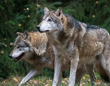 Wölfe, Murtal