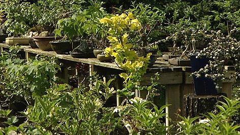 bonsai natur im miniformat burgenland heute. Black Bedroom Furniture Sets. Home Design Ideas