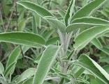 Salbei (Silva officinalis)