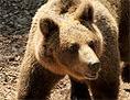 Medved lomasti