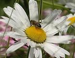 Biene auf Margarithe in Blumenwiese