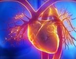 Herz und Anatomie