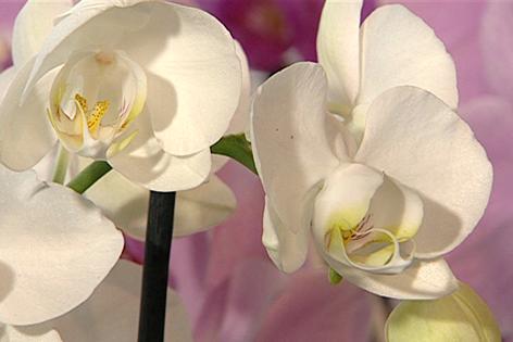 klassische orchideen orf salzburg fernsehen. Black Bedroom Furniture Sets. Home Design Ideas