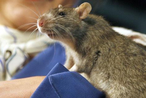 Ratte auf dem Arm