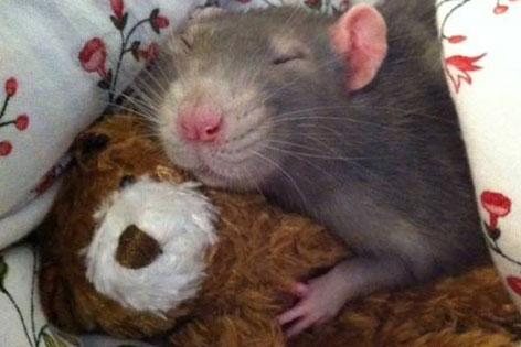 Ratte mit Stoffbär