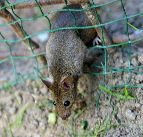 Ratte schlüpft durch Maschendrahtzaun