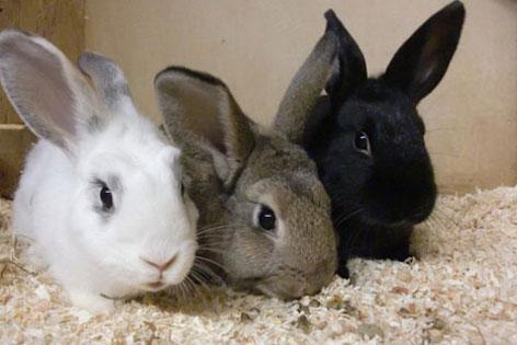 Drei Kaninchen kuscheln zusammen