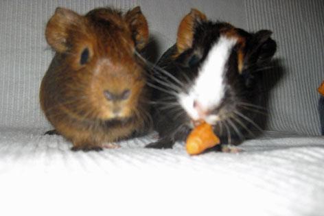 Zwei Meerschweinchen mit Karotte