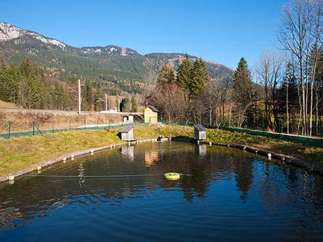Bundesforste bauen heimische fischzucht aus steiermark for Teichanlage selber bauen