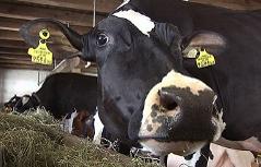 Milchkühe bei der Kuh Zuchtmesse in Maishofen