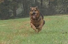 Hund jagt der Beute nach
