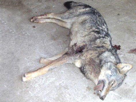 Erlegter Wolf in Greifenburg