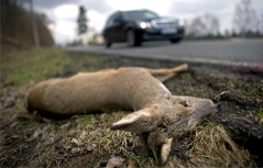 Wildtierunfall