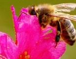 Biene auf Alpenrose, Braunelle