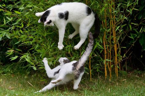 zwei spielende und springende Katzen