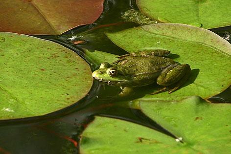 Frosch auf einem Seerosenblatt