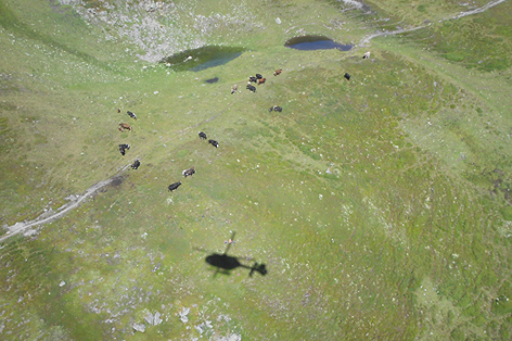Kühe am Nösslachjoch