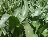 Maisfeld grün gesund