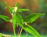 Mönchspfefferpflanze