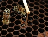 Von bösartiger Faulbrut befallene Waben eines Bienenstocks