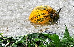Kürbis liegt im Hochwasser