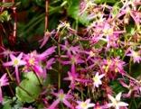 Herbststeinbrech rosa
