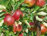 Apfelbaum Santana mit vielen Früchten