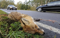Wildunfall mit totem Fuchs
