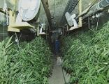 Die Cannabis-Plantage im Weinkeller