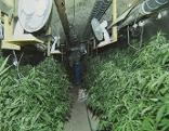 Drogen, Polizei, Cannabis